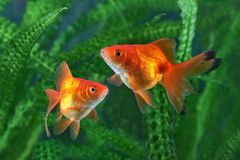 Рыбка, аквариум, рыба на предпосылке аквариумных растени Стоковые Изображения