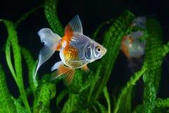 Рыбка, аквариум, рыба на предпосылке аквариумных растени Стоковые Фотографии RF