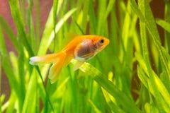 Рыбка в аквариуме на предпосылке зеленых растений Стоковое фото RF