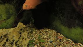 Рыбка в домашнем аквариуме видеоматериал
