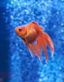 Рыбка в открытом море и воздушных пузырях позади Стоковое фото RF
