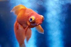Рыбка в открытом море и воздушных пузырях позади Стоковые Изображения RF