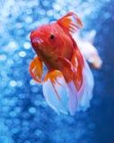 Рыбка в открытом море и воздушных пузырях позади Стоковое Изображение