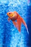 Рыбка в открытом море и воздушных пузырях позади Стоковое Фото