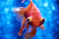 Рыбка в открытом море и воздушных пузырях позади Стоковая Фотография RF