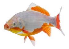 Рыбка известная как комета изолированная на белом фоне Отечественный f стоковые изображения