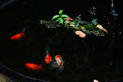 Рыбка которая заплыв в пруде стоковое фото