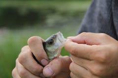 Рыбная ловля лета Извлеките рыб от крюка стоковая фотография