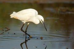 Рыбная ловля маленького egret в озере стоковая фотография