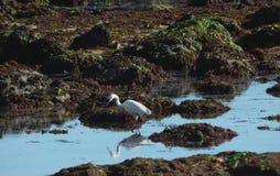 Рыбная ловля морской птицы на побережье стоковая фотография