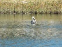 Рыбная ловля пеликана в очень холодном океанском озере Стоковая Фотография