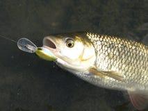 Рыбная ловля прикормом голавля на реке стоковое изображение rf