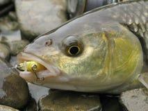 Рыбная ловля прикормом голавля стоковое фото
