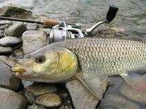 Рыбная ловля прикормом голавля стоковые изображения rf