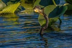 Рыбная ловля американской змеешейки стоковые фотографии rf