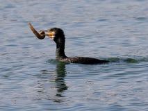 Рыбная ловля баклана Стоковая Фотография RF