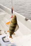 Рыбная ловля окуня в озере Стоковые Изображения RF
