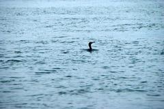 рыбная ловля утки Стоковые Фотографии RF