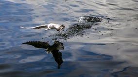 Рыбная ловля чайки моря Стоковая Фотография