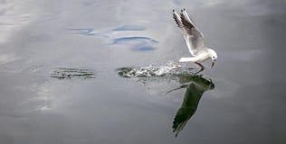 Рыбная ловля чайки моря Стоковые Изображения RF