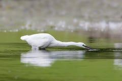 Рыбная ловля garzetta Egretta маленького egret Стоковая Фотография RF