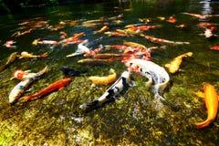 Рыбный пруд Koi Стоковое Изображение