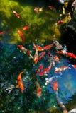 Рыбный пруд Koi Стоковое Изображение RF