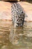 рыболовство кота Стоковые Фото