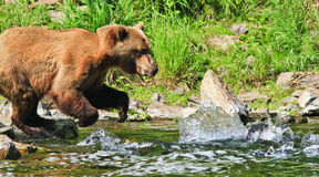 Рыболовство медведя гризли Аляски Брайна для семг Стоковые Фотографии RF