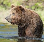 рыболовство медведя коричневое стоковое фото rf