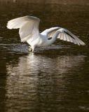 рыболовство egret немногая Стоковые Изображения RF