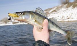 рыболовы держа walleye Стоковое Фото