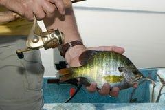 Рыболов держа закрепленный bluegill в его руке стоковые фото