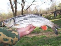 Рыболов на его руке держит рыбу Голавль, конец-вверх стоковая фотография