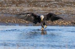 рыболовство облыселого орла Стоковое Изображение RF