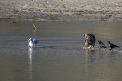 рыболовство облыселого орла Стоковое Фото
