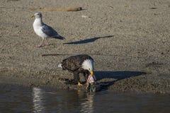 рыболовство облыселого орла Стоковая Фотография