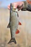 Рыболов держа его задвижка, европейская рыба голавля Стоковая Фотография