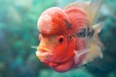 Рыбы ŒPet ¼ ï parva Pseudorabora стоковая фотография