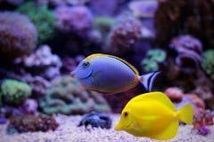 Рыбы аквариума кораллового рифа Стоковая Фотография