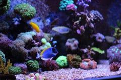 Рыбы аквариума кораллового рифа Стоковое Изображение