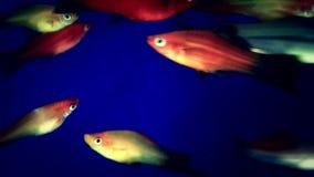 Рыбы аквариума плавая крупный план акции видеоматериалы