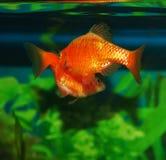 Рыбы аквариума танца ухаживания Стоковая Фотография RF