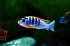 Рыбы аквариума Швеции hongi Pseudotropheus cichlid Малави пресноводные стоковая фотография