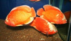 рыбы аквариума Стоковое фото RF