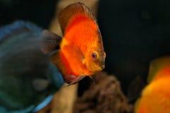 рыбы аквариума Стоковое Изображение RF