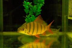рыбы аквариума Стоковая Фотография RF