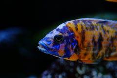 Рыбы аквариума Aulonocara cichlid Малави пресноводные Стоковые Изображения RF