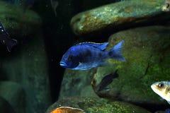 Рыбы аквариума cichlid Малави африканца пресноводные Стоковые Фото