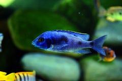Рыбы аквариума cichlid Малави африканца пресноводные Стоковое Изображение